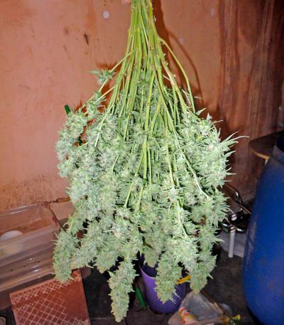 Семена сорта Industrial Plant fem