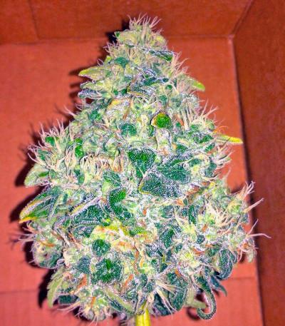 Семена сорта Jack Herer fem (Green House Seeds)