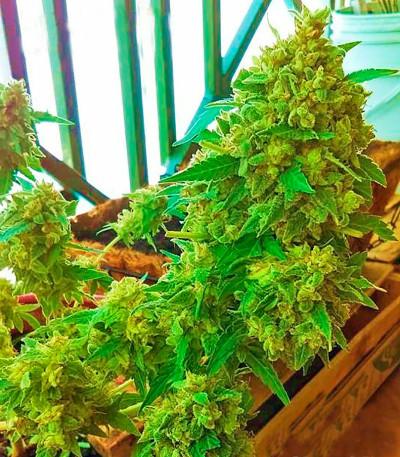 Семена сорта Critical + fem (Dinafem Seeds)