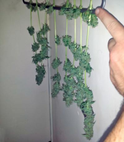Семена сорта Northern Lights Auto fem (Green House Seeds)