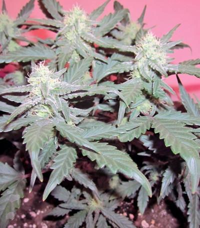 Семена сорта Green Poison Auto fem (Sweet Seeds)