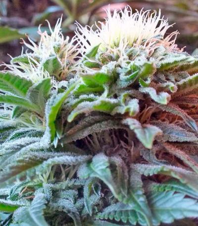 Семена сорта Ladyburn 1974 fem