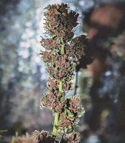 Семена сорта Crystal METH auto fem (FastBuds)
