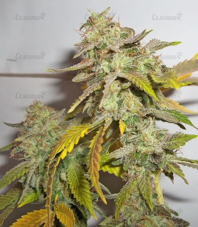 Семена марихуаны Pineapple Chunk