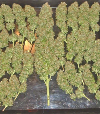 Семена марихуаны Bubble Gum