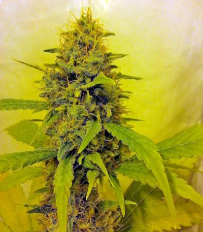 Семена сорта Diesel fem (Dinafem Seeds)