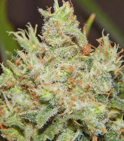 Семена каннабиса LSD