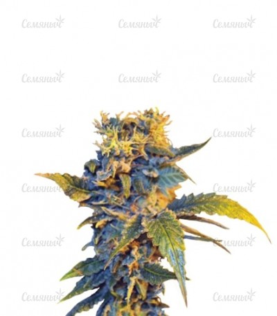 Семена сорта Colombian Sweet fem (VIP seeds)