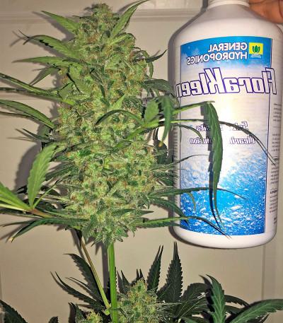Семена сорта Blue Kush Autoflowering fem (Dinafem Seeds)