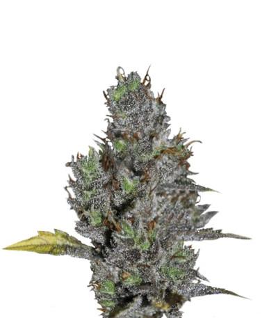Семена сорта Viagrra fem (VIP seeds)