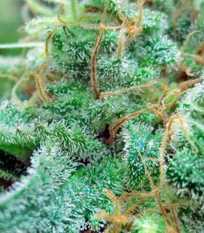 Семена сорта Blue Hash fem (Dinafem Seeds)