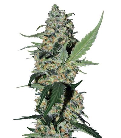 Семена сорта Green Poison F1 Fast Version fem (Sweet Seeds)