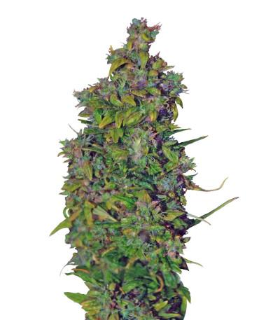 Семена сорта VIP Dwarf Auto fem (VIP seeds)