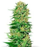 Купить семена конопли семяныч по почте время созревания марихуаны