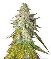 Купить семена конопли семяныч по почте марихуана кошерная